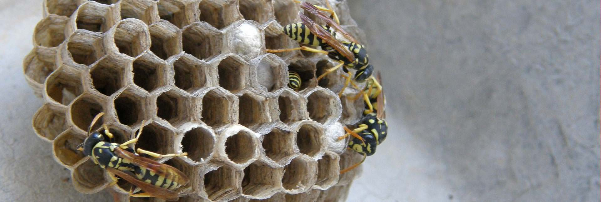 large-wasp-nest-2