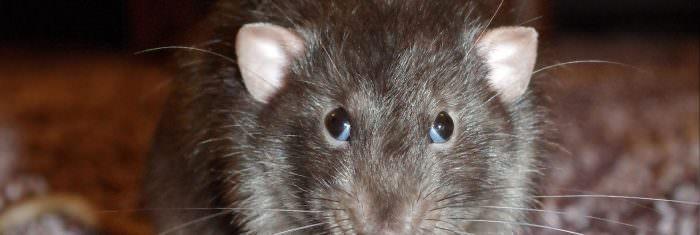 large-rat